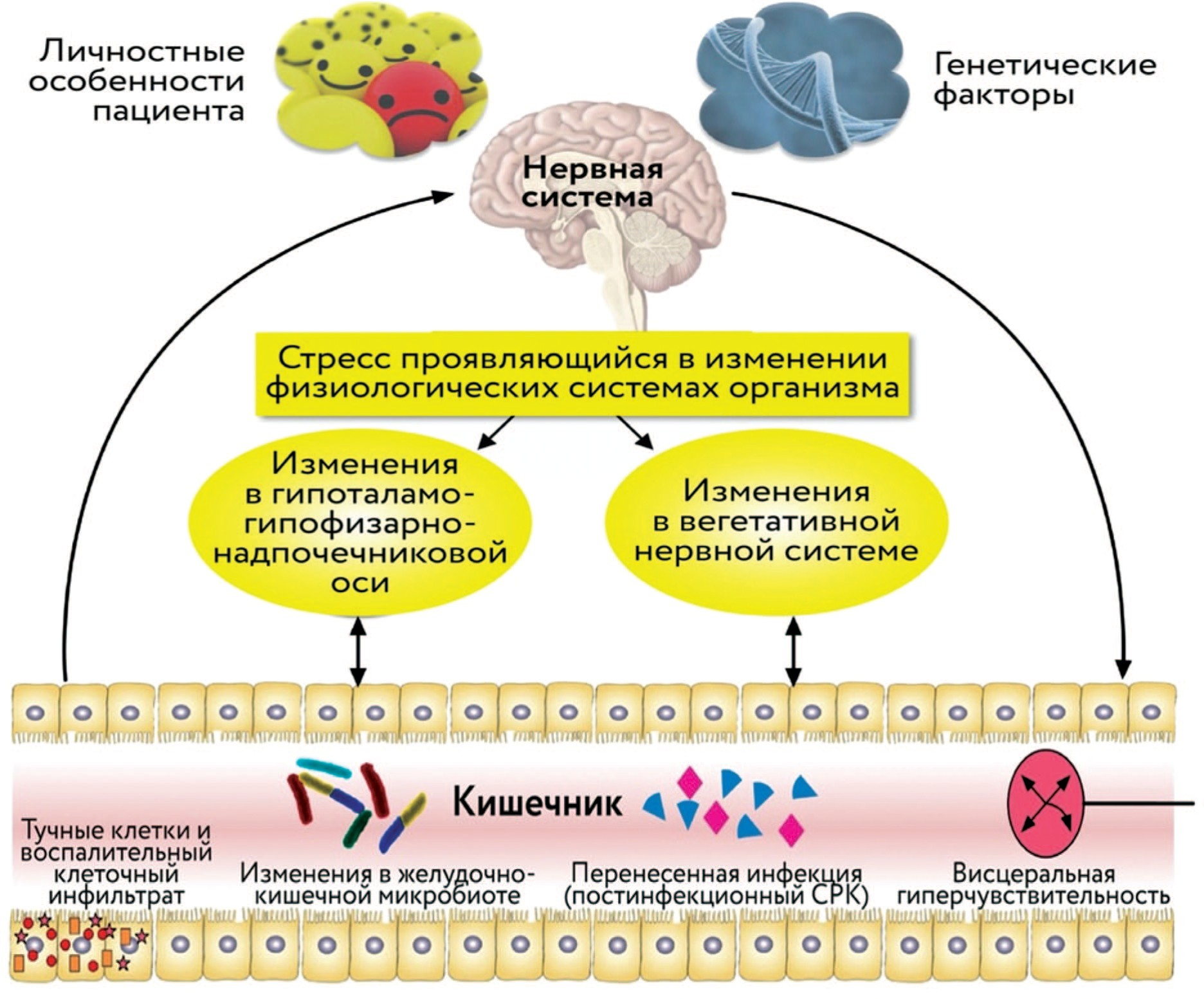 Схематическое резюме факторов, которые вовлечены в патофизиологию синдрома раздраженного кишечника в контексте оси нервная система-кишечник